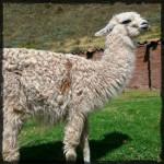 Llama Peru © Twyatt 2014