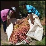 Quinoa Farming Peru © Twyatt 2014